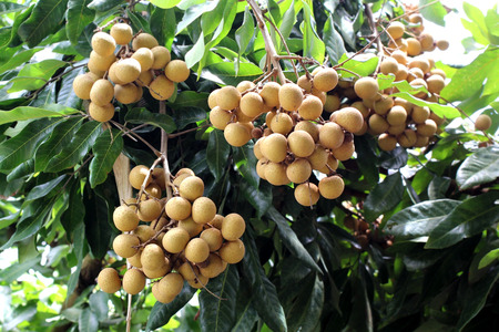 longan on the tree in organic farm