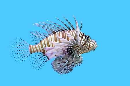 closeup of beautiful lionfish in the aquarium Stock Photo