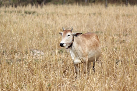 photo of asian cow in yellow field Stock Photo
