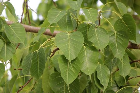 sacred fig or bo leaf on tree Foto de archivo