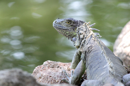 photo of green iguana sitting on ground with river background
