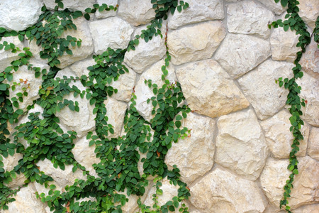 creeping fig, climbing ficus pumila on stone wall