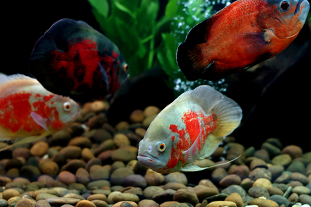 astronotus ocellatus or oscar fish in the aquarium