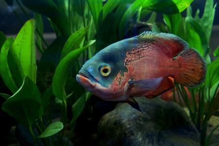 astronotus ocellatus or oscar fish in the aquarium