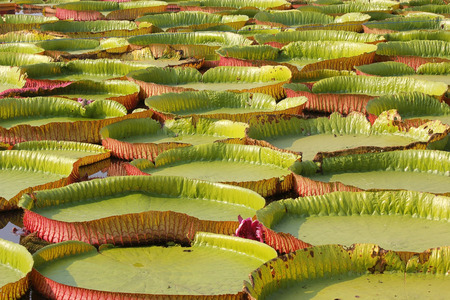 pile of floating lotus, giant water lily or victoria water lily Stock Photo