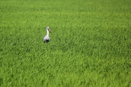 photo of openbill stork in paddy field