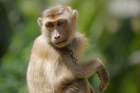 Portrait of macaque monkey with nature background