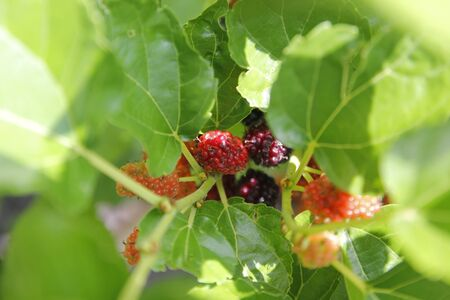 pile of mulberry fruit on tree in organic farm Stockfoto