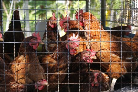 pile of hens in cages in a chicken farm Stock fotó