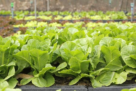 photo de légume vert dans une ferme biologique Banque d'images