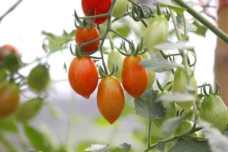 Tomate cerise accrochée à un arbre dans une ferme biologique Banque d'images