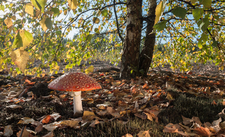 fairy toadstool: Red Mushroom on a Sunny Day
