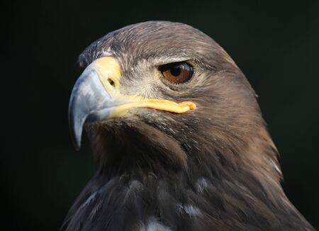 Eagle portrait with natural background. Imagens