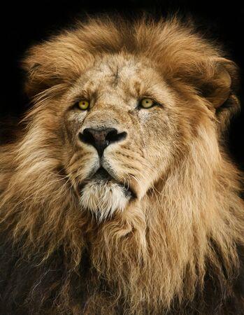 Majestic lion portrait with black background.