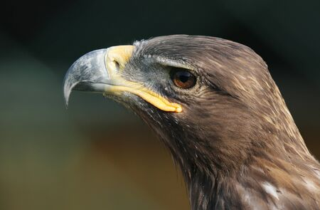Eagle portrait with natural background.