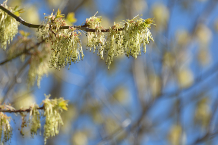 the next life: Young leaves and catkins on a branch in spring