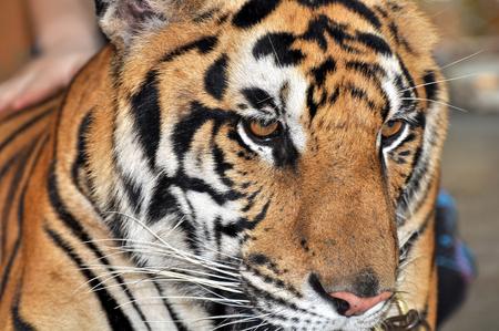 tigresa: Jóvenes tigre en Tailandia
