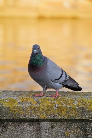 town pigeon walk on concrete border near river photo