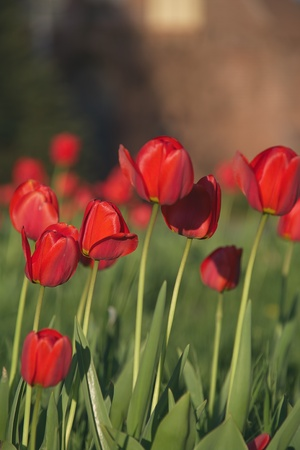 tulip  flower: Spring Red Tulips in the Garden Closeup Stock Photo