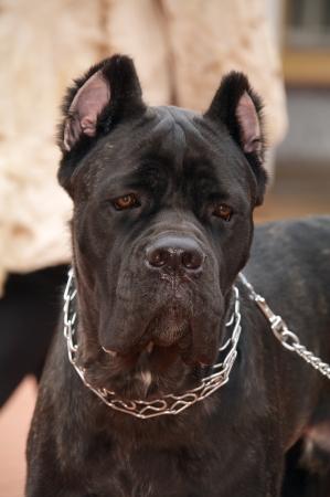 cane corso: cane cane corso nel colletto