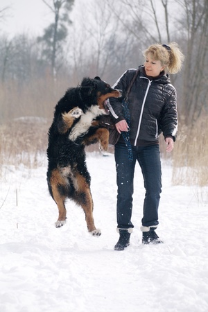 bernese mountain dogplays and bites the woman Stock Photo
