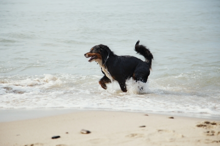 bernese mountain dog walks in water at summer sea beach photo