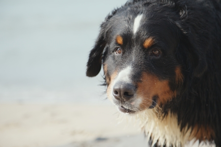 bernese mountain dog looks close up near sea photo