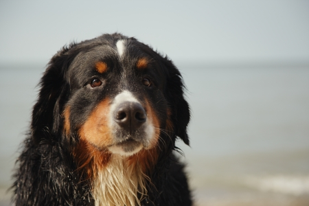 sad bernese mountain dog looks at camera near sea photo