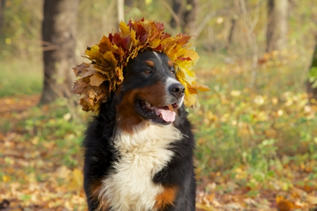 bernese mountain dog in yellow leaves crown looks aside sitting in autumn forest Stockfoto
