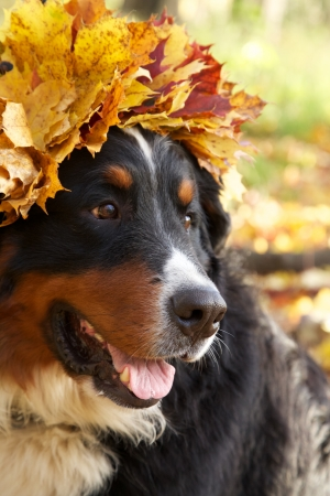 bernese mountain dog in yellow leaves crown looks aside sitting in autumn forest Stock Photo