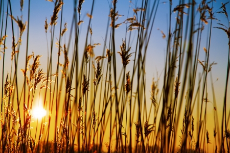 dry cane common reed at sunset photo