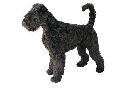 shaggy giant schnauzer standing isolated on white background