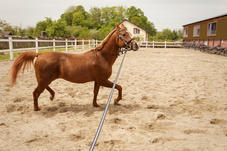 young arabian horse training at farm