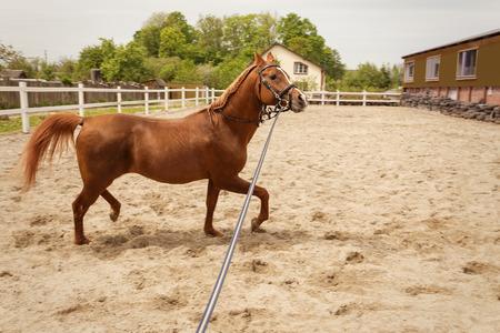 young arabian horse training at farm