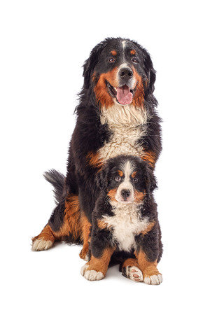 bernese mountain dog: bernese mountain dog with his puppy posing isolated on white