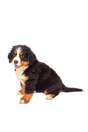 bernese dog: bernese mountain dog puppy sitting isolated on white Stock Photo