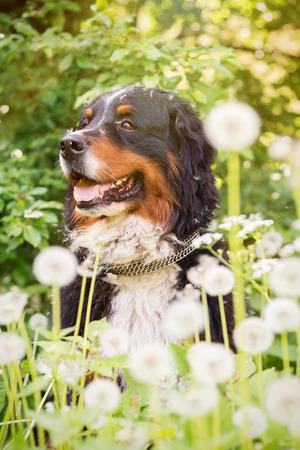 bernese mountain dog: bernese mountain dog sitting in dandelions, toned image