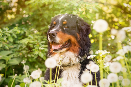 bernese dog: bernese mountain dog sitting in dandelions, toned image
