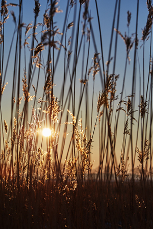 common reed: dry cane common reed at sunset