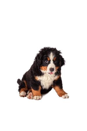 bernese mountain dog: bernese mountain dog isolated on white