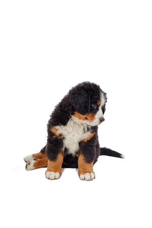 bernese dog: bernese mountain dog isolated on white