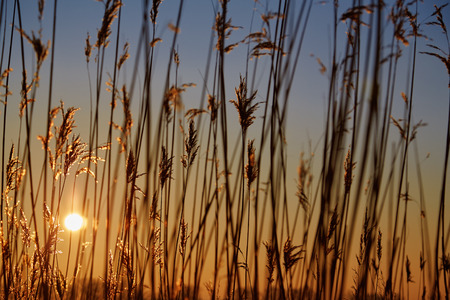 common reed: dry cane common reed at golden sunset