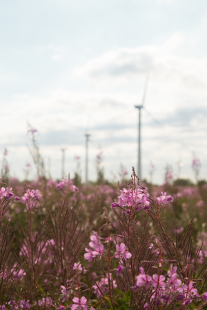 Chamerion angustifolium in field with wind mills Stock Photo