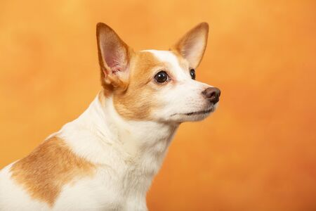 jack russell terrier dog on yellow background profile view