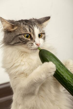 fun fluffy cat plays with cucumber eats it closeup view