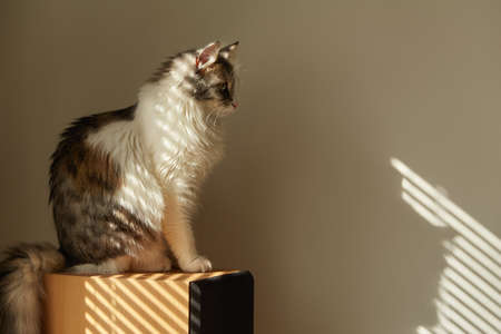 fluffy domestic cat in sun light looks at his shadow on white wall