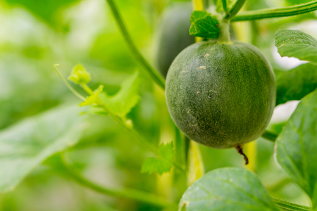 Cantaloupe melons growing in a greenhouse farm Stockfoto