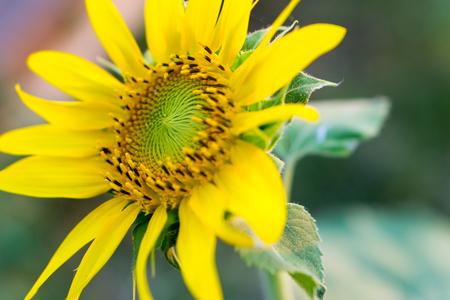 sunflower seeds: Bright yellow sunflowers sun flower close up in field garden