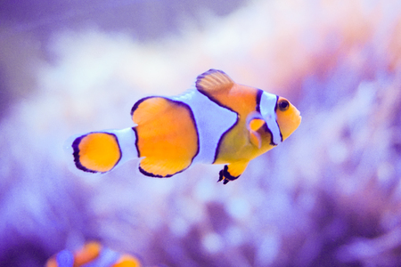 amphiprion: Anemone fish or Clownfish and reef with blue background