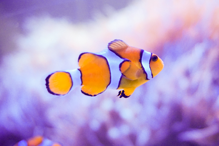 Anemone fish or Clownfish and reef with blue background